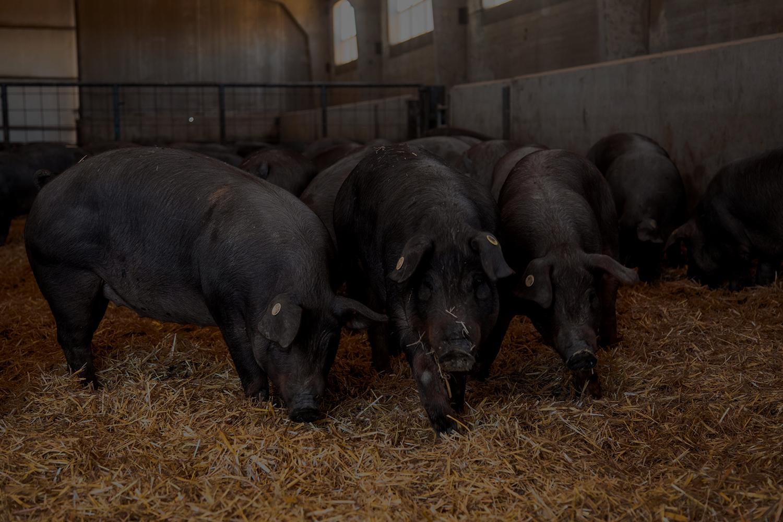 Estudio de las características diferenciales del cebo extensivo en el cerdo ibérico